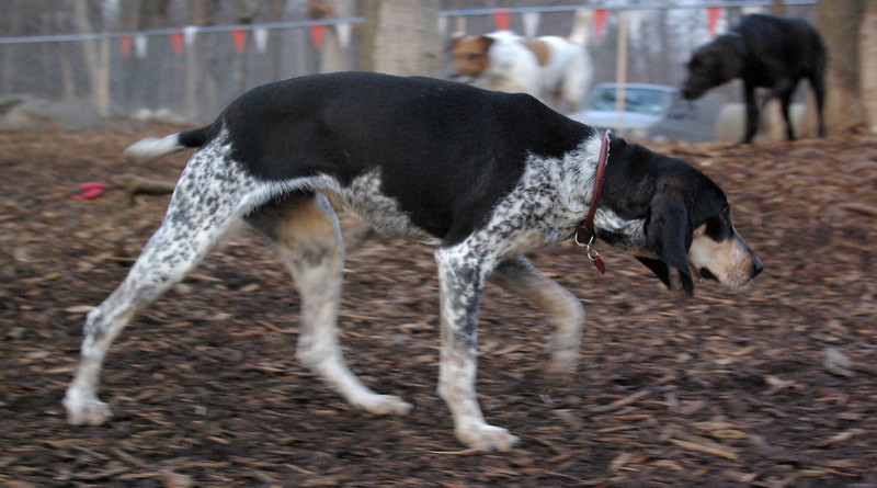 RUBY (blue tick coonhound) 2