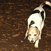 Calypso (beagle) fix eyes