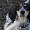 RUBY (blue tick coonhound)