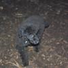 ZOE (black poodle)