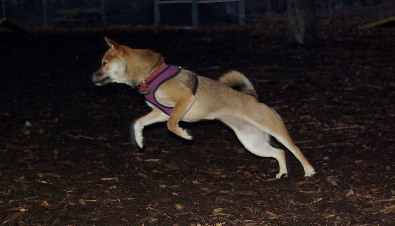 FOXI (shiba inu)
