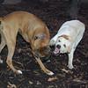 harley (boxer) & Huckleberry