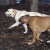 harley (boxer) & Huckleberry 2