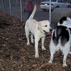 HUCKLEBERRY (lab pup), Marley (boy pup)