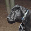HARLEY (great dane) 3
