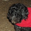 LIZZIE (portuguese water dog, 12, no cancer) 5