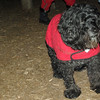 LIZZIE (portuguese water dog, 12, no cancer) 6