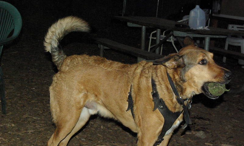 BUDDY (shepherd) 2