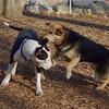 MADDIE & BUD (budd, bull terrier mix) 2