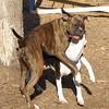 AXEL (boxer) & BUD (budd, bull terrier mix) 10