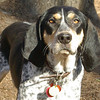 RUBY (blue tick coonhound) 5