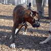 AXEL (boxer) & BUD (budd, bull terrier mix) 22