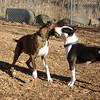 AXEL (boxer) & BUD (budd, bull terrier mix) 4