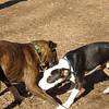 AXEL (boxer) & BUD (budd, bull terrier mix) 19