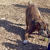 AXEL (boxer) & BUD (budd, bull terrier mix) 9