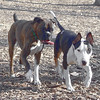 AXEL (boxer) & BUD (budd, bull terrier mix) 13