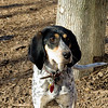 RUBY (blue tick coonhound) 4