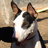 BUD (budd, bull terrier mix, young) 3