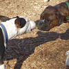 AXEL (boxer) & BUD (budd, bull terrier mix) 27