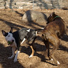 AXEL (boxer) & BUD (budd, bull terrier mix) 3
