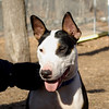 BUD (budd, bull terrier mix, young) 2