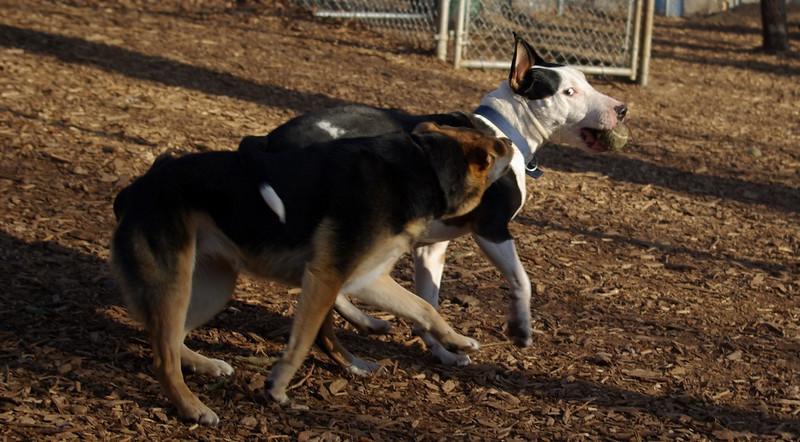 MADDIE & BUD (budd, bull terrier mix) 1