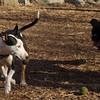 AXEL (boxer) & BUD (budd, bull terrier mix) 23