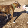 AXEL (boxer) & BUD (budd, bull terrier mix) 1
