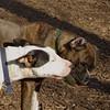 AXEL (boxer) & BUD (budd, bull terrier mix) 25