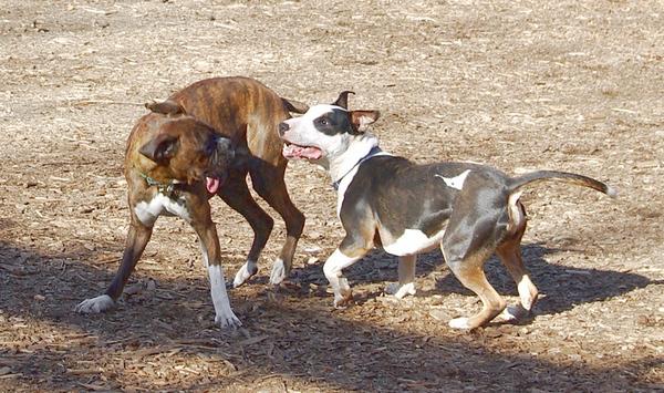 AXEL (boxer) & BUD (budd, bull terrier mix) 14
