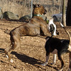 AXEL (boxer) & BUD (budd, bull terrier mix) 5