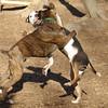 AXEL (boxer) & BUD (budd, bull terrier mix) 17