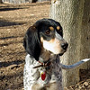 RUBY (blue tick coonhound) 3