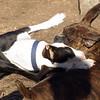 AXEL (boxer) & BUD (budd, bull terrier mix) 15