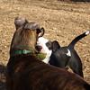 AXEL (boxer) & BUD (budd, bull terrier mix) 2