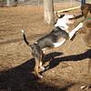 AXEL (boxer) & BUD (budd, bull terrier mix) 20