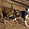 AXEL (boxer) & BUD (budd, bull terrier mix) 24