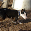 BUD (budd, bull terrier mix, young) 4