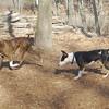 AXEL (boxer) & BUD (budd, bull terrier mix) 29