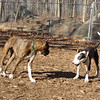 AXEL (boxer) & BUD (budd, bull terrier mix) 6