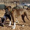 AXEL (boxer) & BUD (budd, bull terrier mix) 7