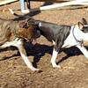 AXEL (boxer) & BUD (budd, bull terrier mix) 00