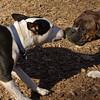 AXEL (boxer) & BUD (budd, bull terrier mix) 28