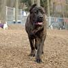 LUCIUS (italian mastiff teen) 2