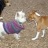 CHLOE (basenji), Isabella (sweater) 2