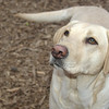 BARNI (yellow lab girl, labb)