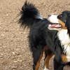 LOLA (bernese mountain dog) 2