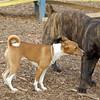 CHLOE (basenji) & Lucius 2