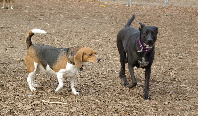 CHELSEA (beagle) & who