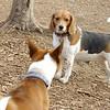 chelsea (beagle), Chloe (basenji) 2
